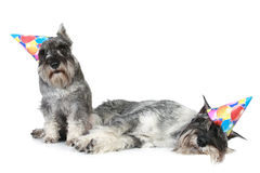 Two tired schnauzers in party caps Royalty Free Stock Image