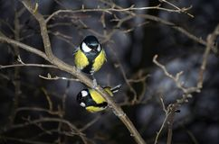 Two Tits sit on a branch. Two tit sitting on a branch night forest Stock Photos