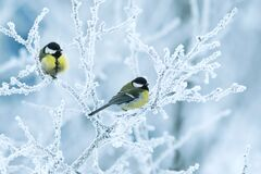 Two titmice birds perch on branches covered in white snow in the winter Christmas garden