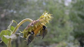 Two titmouse sitting on a sunflower and peck seeds. The fall in the garden stock video footage