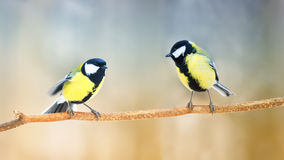 Two  Tits and a branch in the forest looking at each other Stock Photo