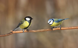 Two  Tits and a branch in the forest looking at each other Royalty Free Stock Images