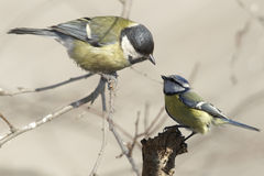 Two tits chatting Royalty Free Stock Image