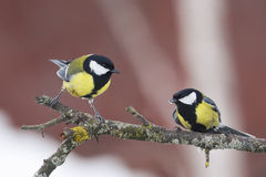 Two Tits sitting on a tree branch Stock Photos