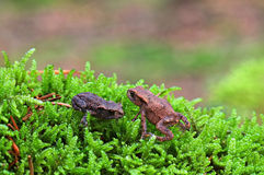 Two toads Royalty Free Stock Photography