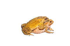 Two toads during the breeding Stock Photos