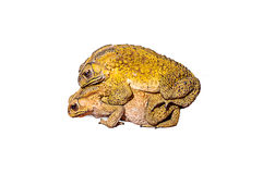 Two toads during the breeding Royalty Free Stock Image