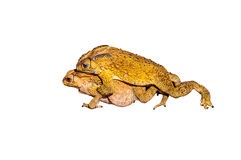 Two toads during the breeding Stock Images