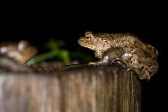 Two toads (Bufo bufo) Royalty Free Stock Photo