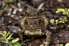 Two toads. Love. Royalty Free Stock Photography