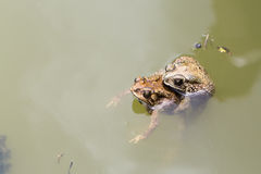 Two Toads Royalty Free Stock Photo