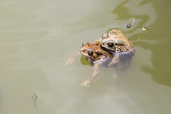 Two Toads Royalty Free Stock Images