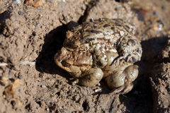 Two toads in the spring of sex Royalty Free Stock Image