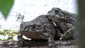 Two toads in their natural habitat. Close up of two toads very close to each other hiding on the farm ground in their natural habitat stock video