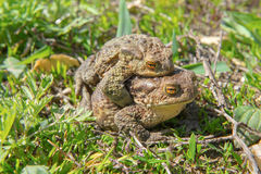 Two toads Stock Photo