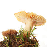 Two toadstools Royalty Free Stock Image