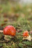 Two Toadstools or fly agaric mushrooms Stock Images