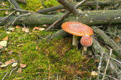 Two toadstools in forest Royalty Free Stock Photos
