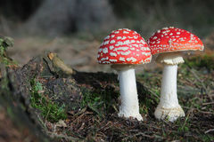 Two toadstools -  red white poisonous mushrooms Royalty Free Stock Photos