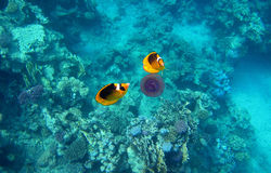 two tobacco butterfly fish eat purple jellyfish Royalty Free Stock Photography
