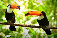 Two Toco Toucan Birds in the Forest. Two Toco Toucan Birds on the Branch in the Tropical Forest stock images