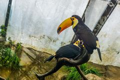 Two toco toucans sitting on a tree branch in the aviary, colorful and tropical birds from America. Two toco toucans sitting on a tree branch in the aviary, some stock images