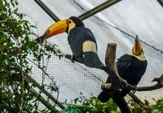 Two toco toucans sitting in a tree top in the aviary, colorful tropical birds from America. Two toco toucans sitting in a tree top in the aviary, some colorful stock image