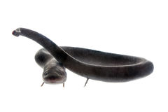 The two-toed amphiuma, amphiuma means, on white Royalty Free Stock Image