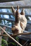 Two-toed Linnaeus Sloth hanging in the enclosure. The Loro Parkue in Puerto de la Cruz, Tenerife, Canary, Spain Royalty Free Stock Photo