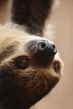 Two-toed sloth Stock Photos