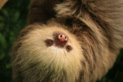 Two toed sloth. A two toed sloth hanging from a tree Stock Photography