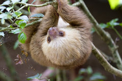 The two-toed sloth. The baby two-toed sloth is hanging on the branch Stock Image