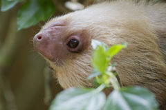 The two-toed sloth. The baby two-toed sloth is hanging on the branch stock photography