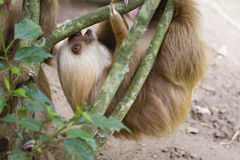 The two-toed sloth. The baby two-toed sloth (Choloepus didactilus), Costa-Rica Stock Photos