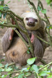 The two-toed sloth. Two-toed sloth sleepind and hahging on the branch Stock Photography