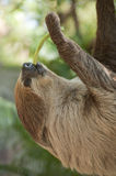 Two-toed sloth. Royalty Free Stock Image