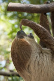 Two-toed sloth. Two-toed sloth, Choloepus didactylus Royalty Free Stock Image