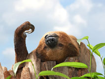 Two-toed Sloth (choloepus didactylus). Two-toed Sloth sleeping in a tree top in its habitat Royalty Free Stock Photography
