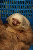 Two-Toed Sloth Royalty Free Stock Images