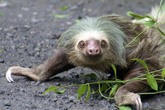 Two-toed sloth crawling stock images