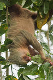 Two-toed sloth eating Stock Images