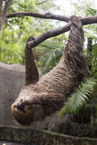 Two-toed sloth eating lentils Royalty Free Stock Image