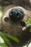 Two - toed Sloth Stock Image
