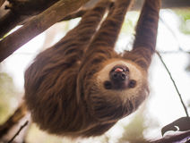 Two-toed sloth hanging from a tree. Two-toed sloth in Panama Royalty Free Stock Photography