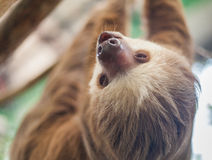 Two-toed sloth hanging from a tree Royalty Free Stock Photos