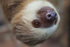 Two-toed sloth hanging from a tree Stock Images