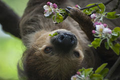 Two - toed Sloth Royalty Free Stock Photos