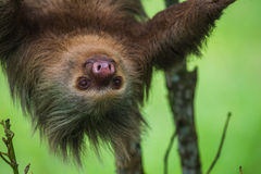 Two-toed Sloth Stock Image