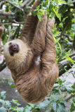 Two-toed sloth. Hoffmann`s two-toed sloth Choloepus hoffmanni eating leaves Royalty Free Stock Photography