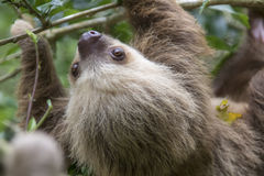 Two-toed sloth. Hoffmann`s two-toed sloth Choloepus hoffmanni eating leaves royalty free stock image